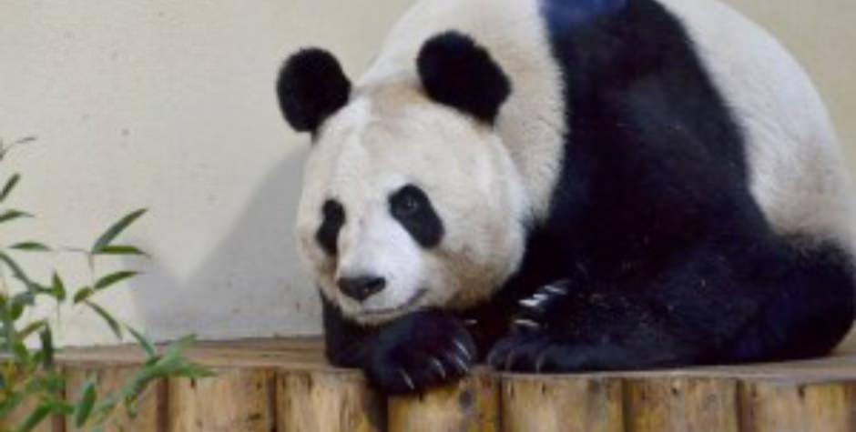 Edinburgh Panda
